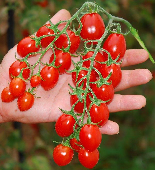 Acquistare Pomodorino categ. cherry-Datterino