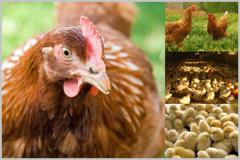Bio forages for farm poultry