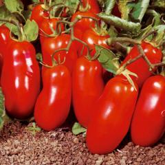 Pomodoro San Marzano rosso o verde