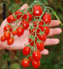 Pomodorino categ. cherry-Datterino
