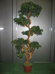 Pianta Boxwood bonsai