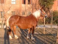 Allevamento cavalli Norici