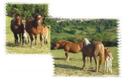 Cavalli razza agricola italiana