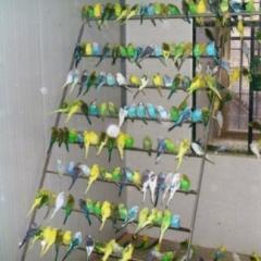 Papugi faliste