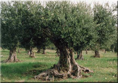 Ordine Coltivazione ulivi Biancolilla