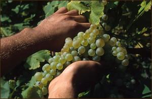 Ordine Corsi di viticoltura e degustazione