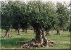 Coltivazione ulivi Biancolilla