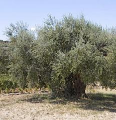 Coltivazione ulivi Cerasuola