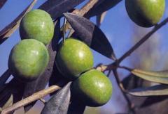 Coltivazione ulivi Nocellara del Belice